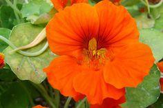 Vegyszerek helyett hatékony növénytársítással elűzhetőek a veszélyes kártevők. Segítőtársaink lehetnek kertünk, otthonunk védelmében ezek a növények. Olyan anyagokat termelnek, s választanak ki, am… Flower Photos, Garden, Flowers, Plants, Garten, Lawn And Garden, Gardens, Plant, Gardening