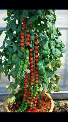 Repunzel tomatoe plant (someone posted on fb...will have to check to see if real)