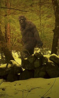 BigFoot Sightings from Around the Worls, Sasquatch, Yowi, Abonimable Snowman, All Sightings of Large Humanlike Creatures are seen throughout the world on almoost all continents. Real Bigfoot Pictures, Bigfoot Photos, Yeti Bigfoot, Bigfoot Sasquatch, Bigfoot Toys, Bigfoot Party, Paranormal, Pie Grande, Finding Bigfoot
