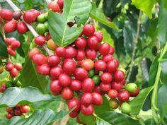 Sumatra Mandheling Grade 1 - 16oz