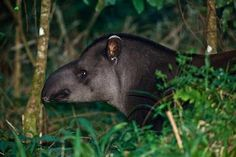 Tapir by Rossi Fox Production