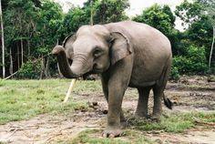 Sumatran elephant.