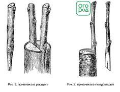 два вида прививки в расщеп и полурасщеп
