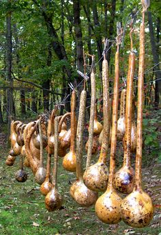 gourds-drying-on-clothesline