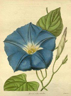 The Botanist 1836 ~ Antique Morning Glory Botanical