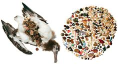 Stomach content of a young albatross - David Liittschwager  Susan Middleton