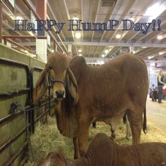 HaPPy HumPy Day!  Charlie Tango is glad to be home from Fort Worth. Cattle Shows are exhausting. :)