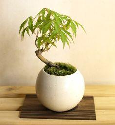 手のひらサイズのミニ盆栽【オオモミジ】#03