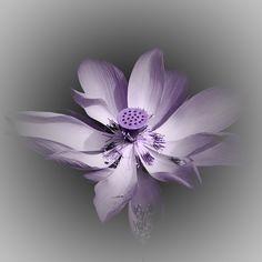 Lotusblüte - kreativ (by foto-fuks)