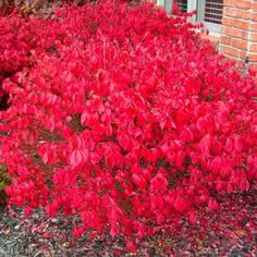 Check out the deal on Dwarf Burning Bush –Euonymus alatus 'Compacta' - Potted - 3 Pack at Growers Solution Landscaping Plants, Front Yard Landscaping, Landscaping Ideas, Landscaping Borders, Landscaping Around House, Inexpensive Landscaping, Euonymus Alatus Compactus, Dwarf Burning Bush, Gardens