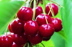 ~Growing Cherries:  With a little nurturing, you can grow cherry trees with ease~ birdsandblooms.com