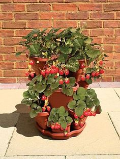 Growing Strawberries In Containers | A Collection of Photos