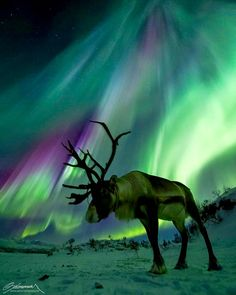 Exhibit B. Previous pinner: Aurora and Reindeer, Finnish Lapland. Me: Someone else claims that this picture was taken in Norway. So, which is it, Finnish Lapland or Norway? You can see the problem. Tromso, Beautiful Creatures, Animals Beautiful, Majestic Animals, Northen Lights, Ciel Nocturne, Beautiful Sky, Wildlife Photography, Night Photography