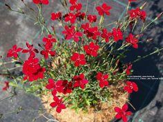 Maiden Pink 'Leuchtfunk' (Dianthus deltoides)