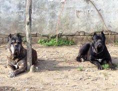 Italian Cane Corso, Cane Corso Italian Mastiff, Cane Corso Mastiff, Cane Corso Dog, Kane Korso, Black Pitbull, Animals And Pets, Pitbulls, Beast
