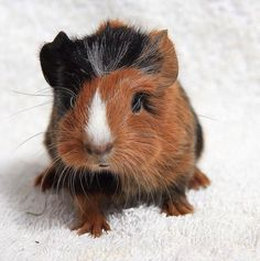 Cuyos Guinea Pig Breeding, Guinea Pig Care, Cute Guinea Pigs, Baby Pigs, Pet Pigs, Cute Piggies, Baby Animals, Cute Animals, Small Animals