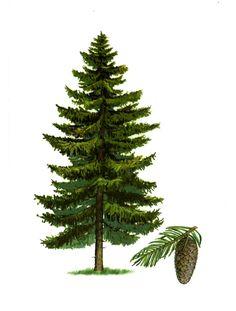 Choinka Trees To Plant, Plant Leaves, Spruce Tree, Christmas Illustration, Pine Tree, Botanical Illustration, Illustrations, Cactus Plants, Flora