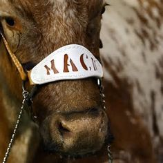Image result for Texas Longhorns Football Bevo Mascot
