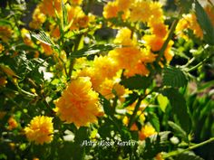 Petra Rosso' Garden. Yellow flower bed. Spring