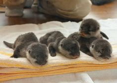 A Romp of Baby Otters!