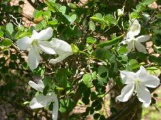 ex Hook. Family: Fabaceae Common names: Natal bauhinia (Eng. Small Gardens, Outdoor Gardens, Orchid Tree, Halfway House, Grow Your Own Food, Potting Soil, Medicinal Herbs, Small Trees, Xmas