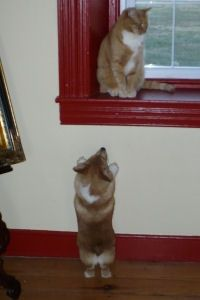 Corgi & cat, come play with me!  I won't lick you too much...