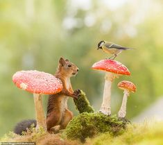 Magical photographs show playful red squirrels capering among toadstools Nature Animals, Animals And Pets, Baby Animals, Funny Animals, Cute Animals, Baby Squirrel, Red Squirrel, Wild Creatures, Woodland Creatures