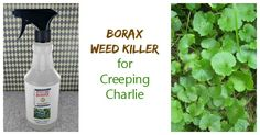Creeping Charlie is an invasive perennial that can make a mess of your lawns. This Borax weed killer is effective at controlling it.