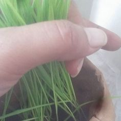 """""""🌿🌿🌿 A couple of weeks later... Harvesting. It's the perfect addition to any smoothie and now I don't have to go searching for grocery stores that have it all the time #Winning #WheatGrass #GrowYourOwn #Organic #BotanicalInterests #HomeSteadingWannabe"""" - elyshaperry (Instagram)"""