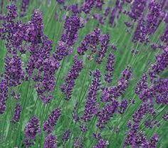 Lavender Blue Mountain