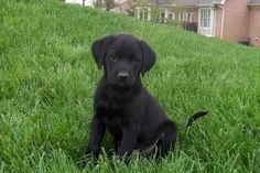 Tenor is an adoptable Black Labrador Retriever Dog in Cincinnati, OH.  Tenor is a black lab mix born on 2/20/13. His mother was a black retriever mix who weighed 30 lbs. The litter is estimated to be ...