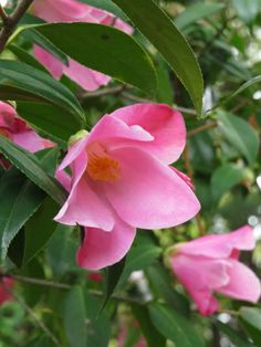 Camellia x. williamsii 'Tulip Time' (U.S., 1981)