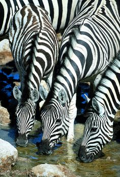 Zebras drinking water, by Paul Goldstein -  by Exodus Travels - Reset your compass, via Flickr