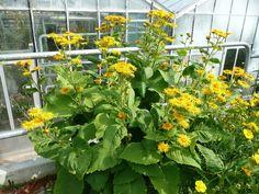 Weitere gelbe Blühpflanzen