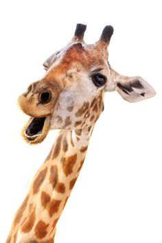 Well have you seen what giraffes look like when they SLEEP? | If You Don't Know How Giraffes Sleep You Are Missing Out, My Friend