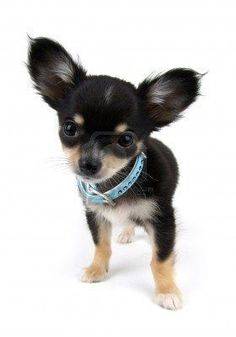 Chihuahua - I've always wanted one of these - for more from Mexico, visit www.mainlymexican... #Mexico #Mexican #chihuahua