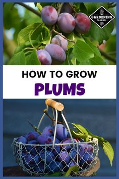 A Great Source for Fiber, Antioxidants, and Vitamin C Learn how to successfully grow plums in your yard with this growing guide.Learn how to successfully grow plums in your yard with this growing guide. Growing Fruit Trees, Growing Grapes, Aquaponics System, Aquaponics Plants, Aquaponics Greenhouse, Hydroponics, Vitamin C, Organic Gardening, Gardening Tips