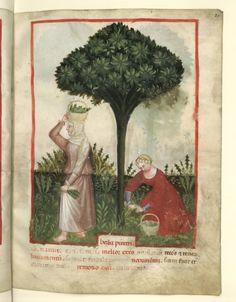 Nouvelle acquisition latine 1673, fol. 21, Récolte du pyrèthre. Tacuinum sanitatis, Milano or Pavie (Italy), 1390-1400.