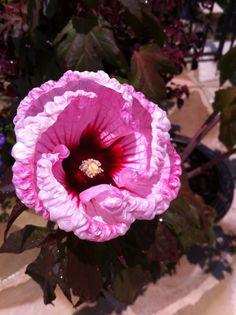 Hibiscus 'Copper King' from Mrs. Jones' garden.