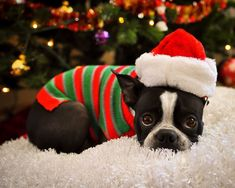 A Boston Terrier! Jk, these dogs are TOOOOO hyper for me Christmas Animals, Christmas Dog, Merry Christmas, Christmas Sweaters, Cute Puppies, Cute Dogs, Boston Terrier Love, Boston Terriers, I Love Dogs