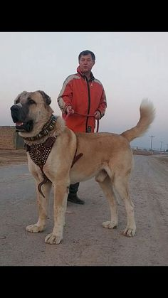 Huge Dogs, Giant Dogs, Pug, Chihuahua, Alabai Dog, Kangal Dog, Dog Best Friend, Real Dog, War Dogs