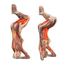 Headstand preparation pose II - Salamba Sirsasana preparation II - Yoga Poses