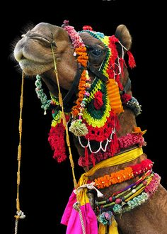 In Rajasthan, even the Camels are colorful. Photo by Michael Sheridan.