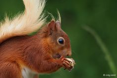Red Squirrel – Nuts for lunch