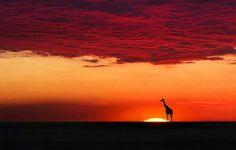 Giraffe contemplating the Beautiful Sunset, Africa. Beautiful World, Beautiful Places, Beautiful Pictures, Amazing Places, African Sunset, Out Of Africa, Beautiful Sunrise, Sunset Beach, Belle Photo