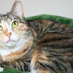 Jenkintown, Pennsylvania - Calico. Meet Tilly - Funny Girl, a for adoption. https://www.adoptapet.com/pet/20626737-jenkintown-pennsylvania-cat