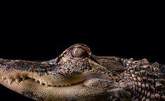 Ein Räuber ganz nah: Mit starrem Blick schaut dieser Alligator in die Kamera.