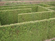 A close-up of the remarkable hedges in the #maze at Weldam. Remarkably they are made of conifer of some kind, extremely carefully cut. This is the oldest hedge maze in the Netherlands.