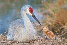 Newborn Sandhill Crane Baby at Nest