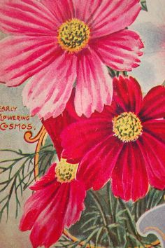 1896 Vintage Botanical Print of Early Flowering Cosmos - Chromolithograph Vintage Botanical Prints, Vintage Prints, Vintage Posters, Decoupage, Vintage Seed Packets, Seed Packaging, Vintage Gardening, Summer Plants, Seed Catalogs